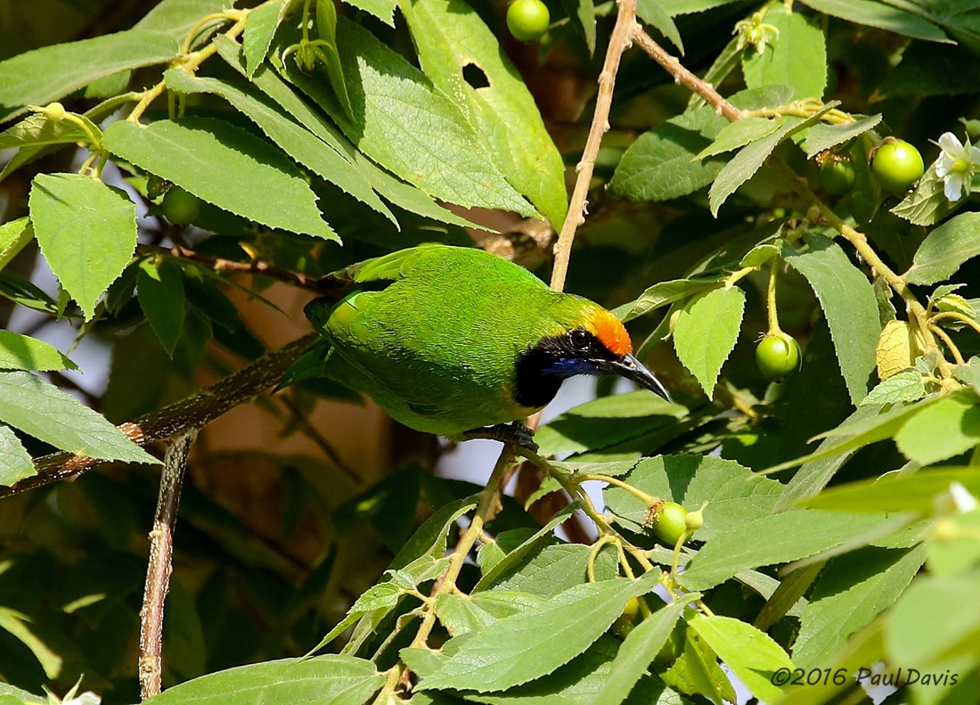 Golden-fronted leafbird from Ob Luang.jpg