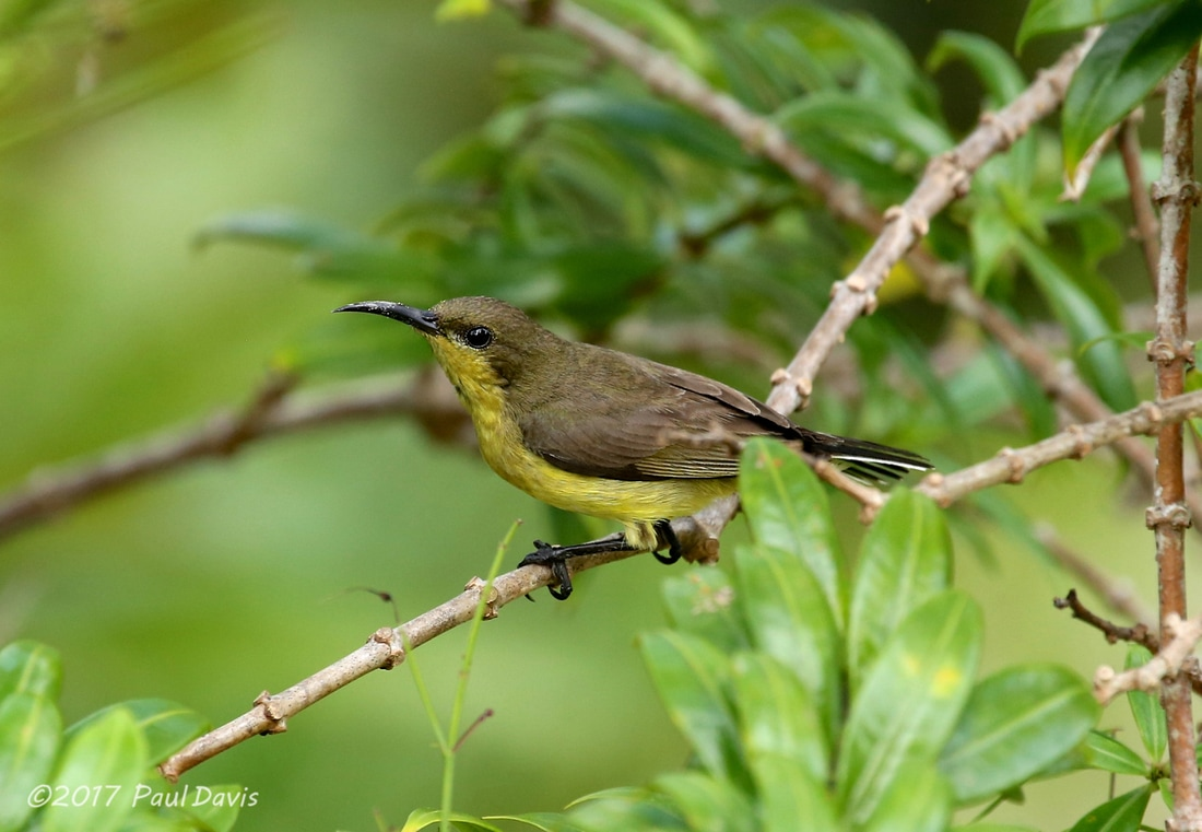 Female Olive-backed sunbird, Cinnyris jugularis.jpg