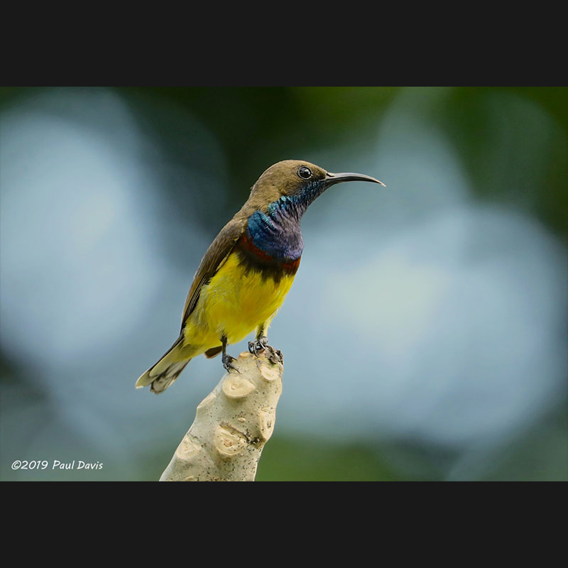 Cinnyris jugularis Olive-backed Sunbird.jpg
