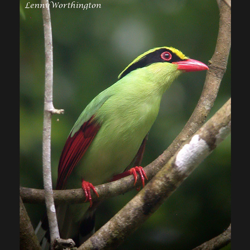 Cissa chinensis Common Green Magpie.jpg