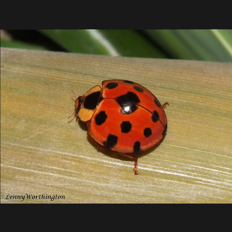 Coccinellidae of Thailand.jpg