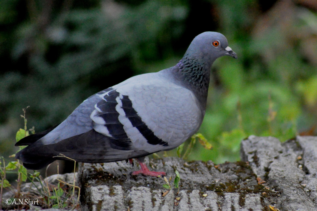 Columba livia Rock Dove Huay Keaw Waterfall Chiang Mai Dec 2019.jpg