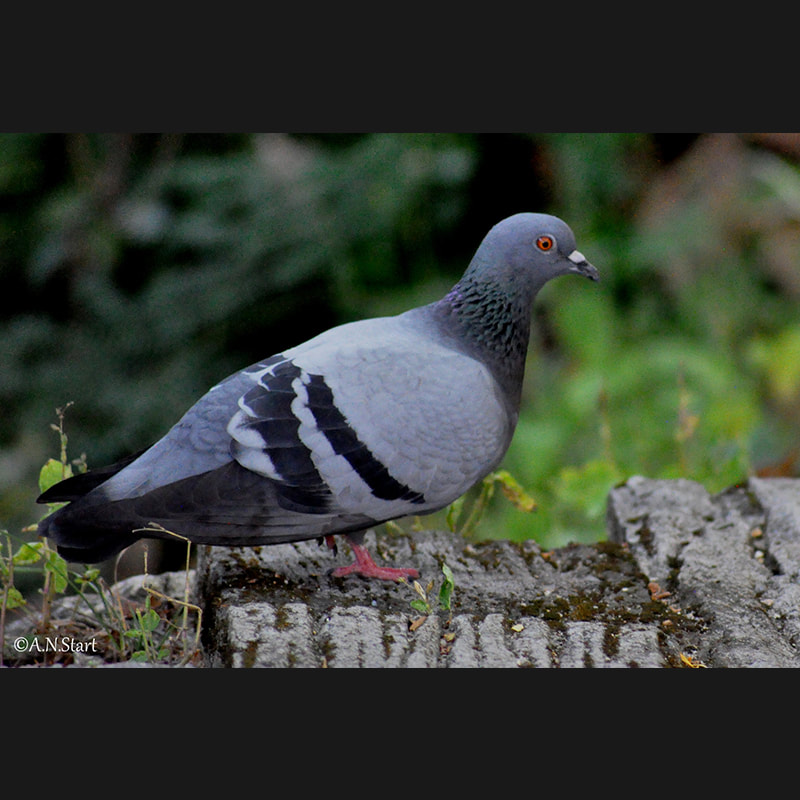Columba livia Rock Dove.jpg