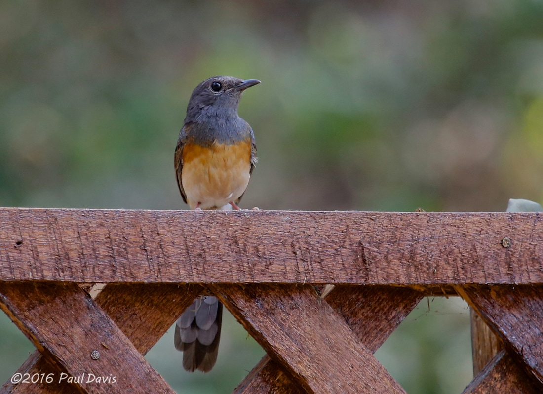 White-rumped Shama from Ob Luang.jpg