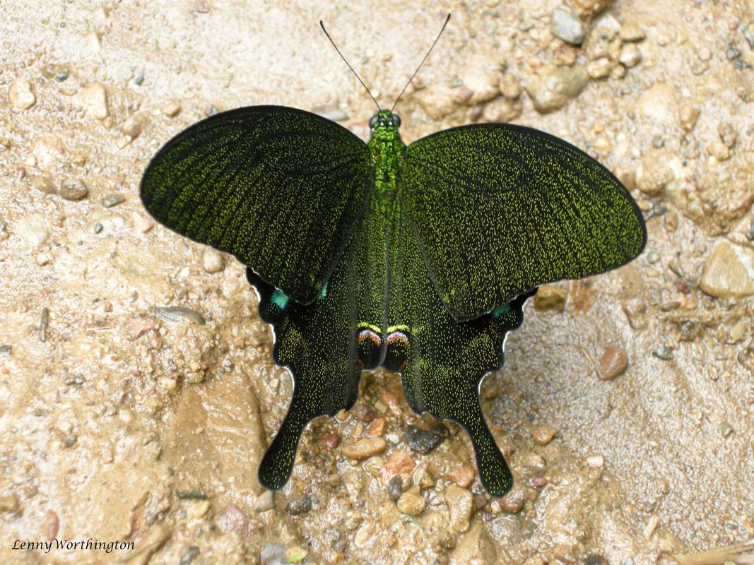 metalic green butterfly from Thailand.jpg