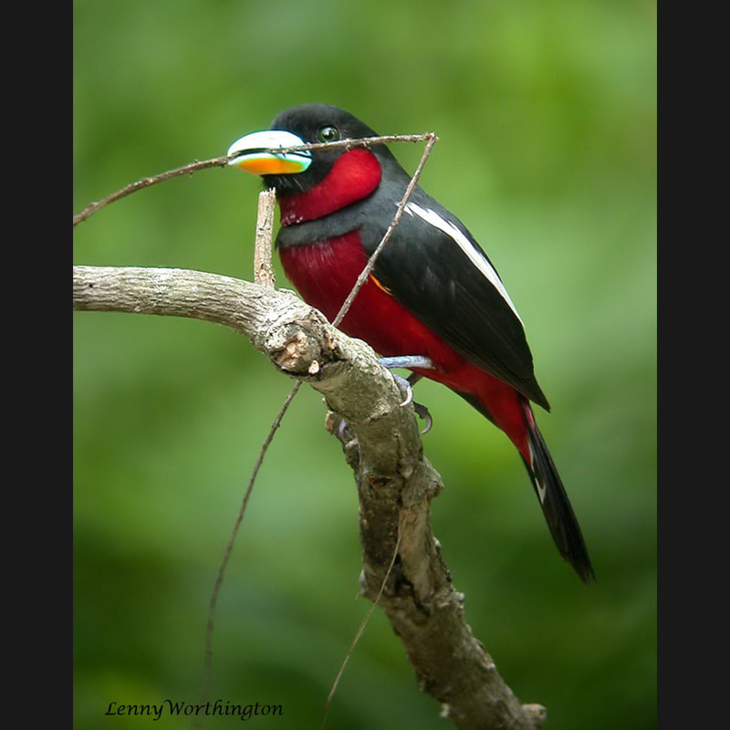 Cymbirhynchus macrorhynchos Black-and-red Broadbill.jpg
