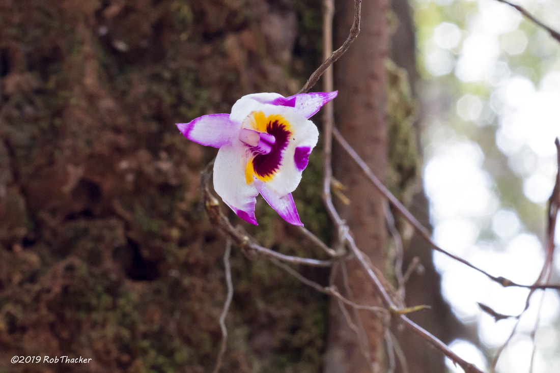 Dendrobium falconeri Doi Suthep-Pui NP May 2019.jpg