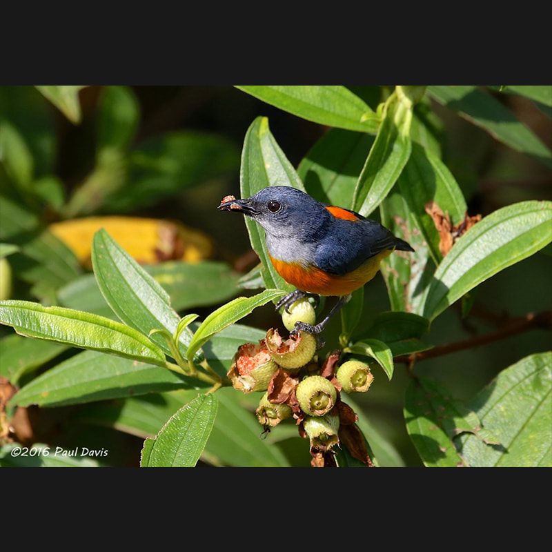 Dicaeum trigonostigma Orange-bellied Flowerpecker.jpg