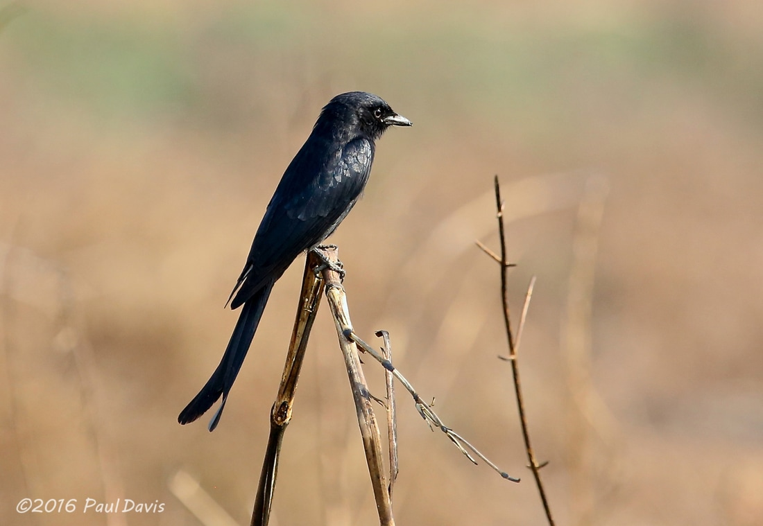 Black Drongo from Chiang Mai.jpg