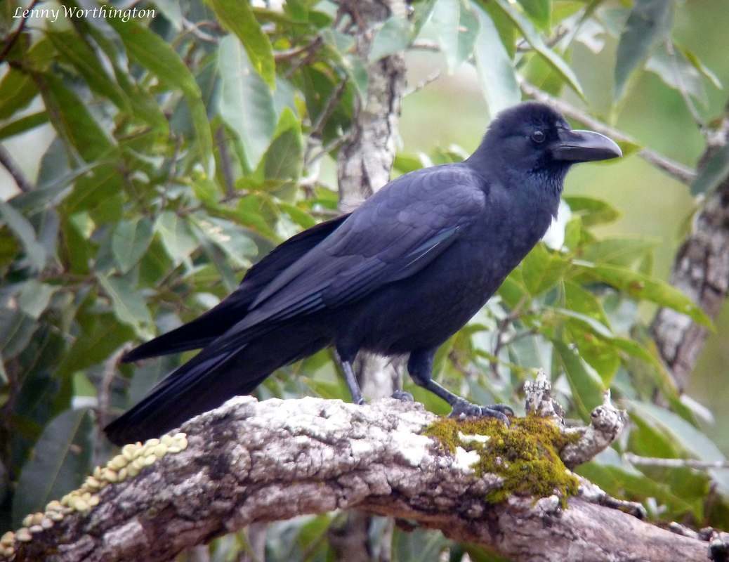 Eastern Jungle Crow Corvus levaillantii (Lesson, 1831)