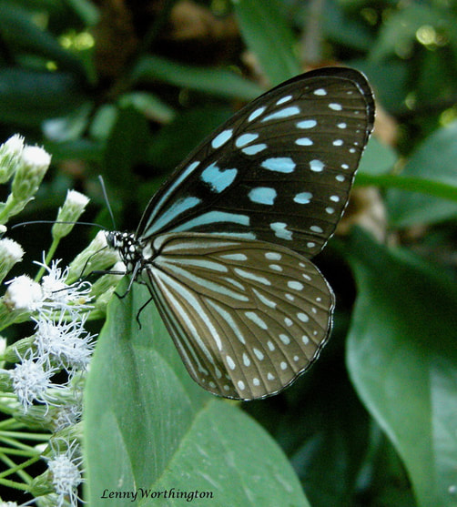 Blue and black butterfly from Thailand.jpg
