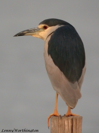 Black-crowned Night Heron Nycticorax nycticorax.jpg