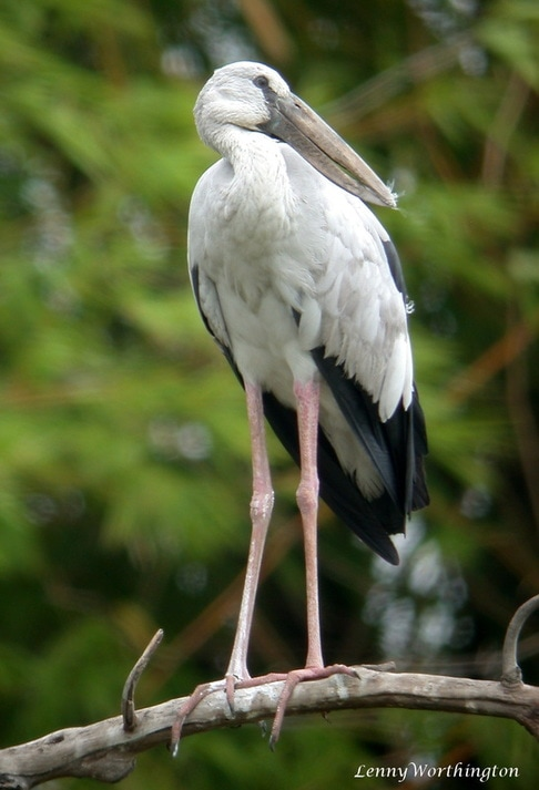 Asian Openbill Anastomus oscitans.jpg