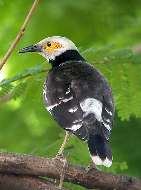 Black-collared Starling Sturnus nigricollis.jpg