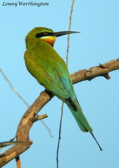 Blue-tailed bee-eater Merops philippinus.jpg