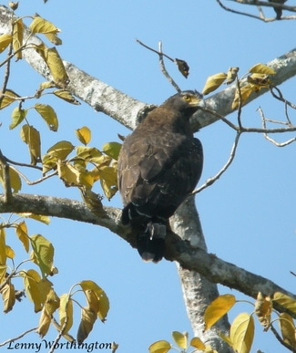 CRESTED SERPENT EAGLE, Spilomis cheela.jpg