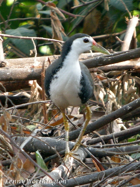 White-breasted Waterhen Amourornis phoenicurus.jpg