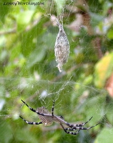 Tent Web Spider with egg sac.jpg