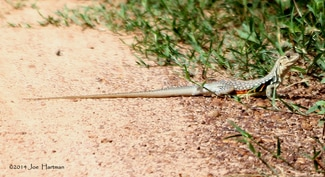 Reeves' butterfly lizard.jpg