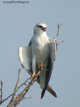 Black-shouldered Kite Elanus caeruleus.jpg