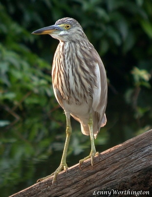 Chinese Pond Heron Winter plumage, Ardeola bacchus Winter plumage.jpg