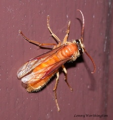 Provespa barthelemyi,  Common Nocturnal Hornet.jpg