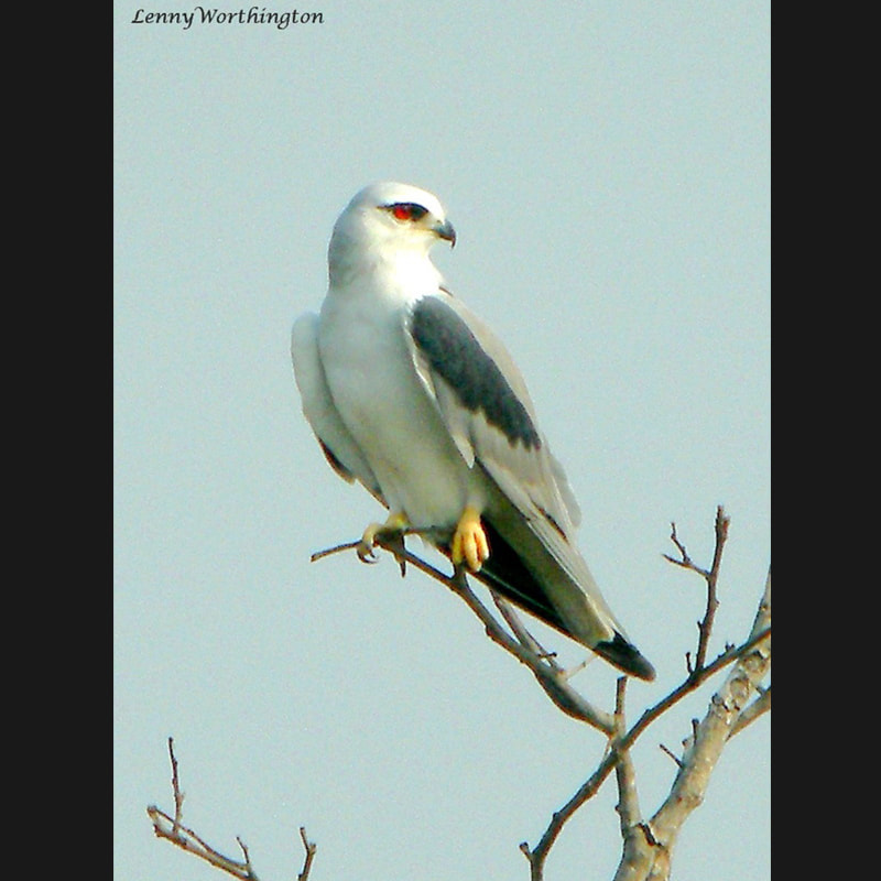 Elanus caeruleus Black-winged Kite.jpg