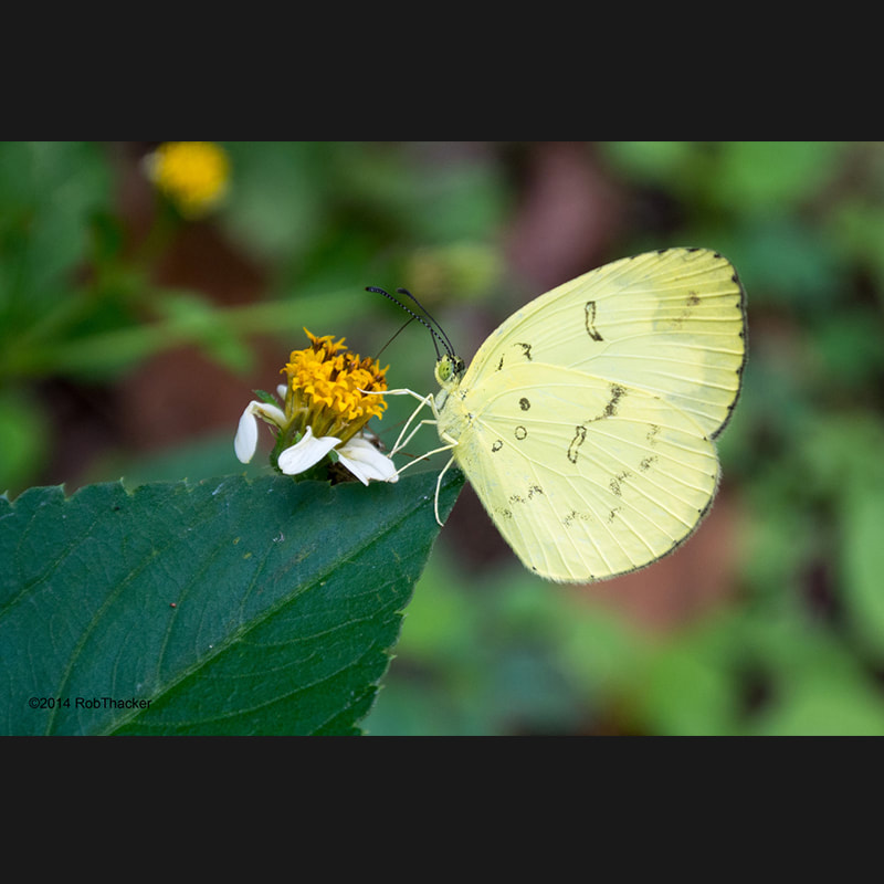 Eurema hecabe hecabe species page link.jpg