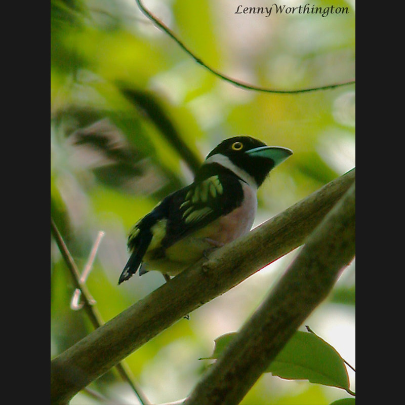 Eurylaimus ochromalus Black-and-yellow Broadbill.jpg