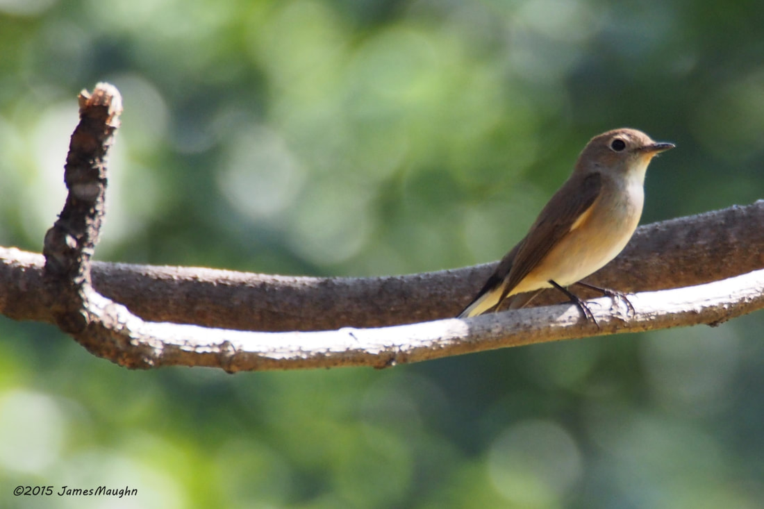 Ficedula albicilla Taiga Flycatcher Bangkok January 2015.jpg