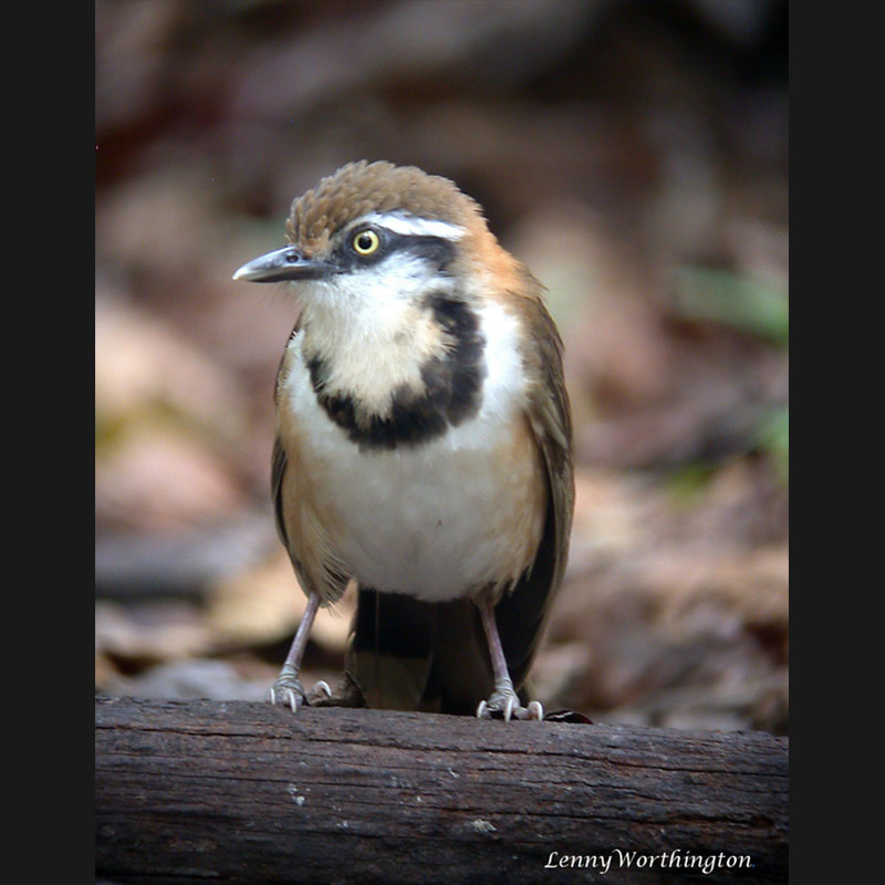 Garrulax monileger Lesser Necklaced Laughingthrush.jpg