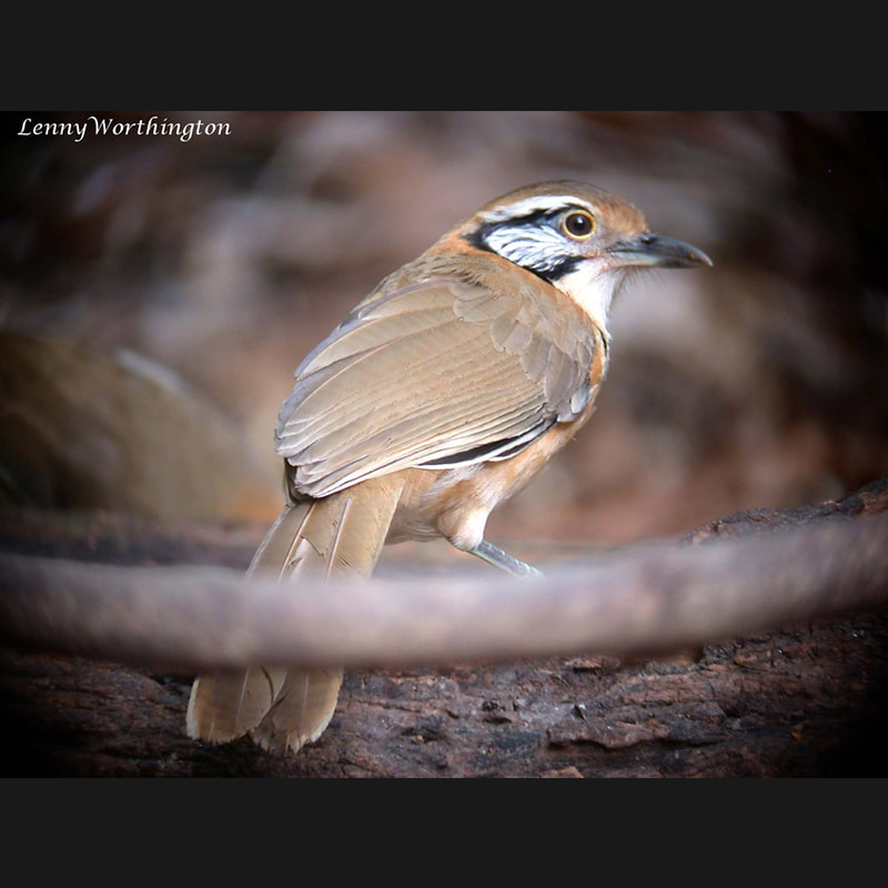 Garrulax pectoralis Greater Necklaced Laughingthrush.jpg
