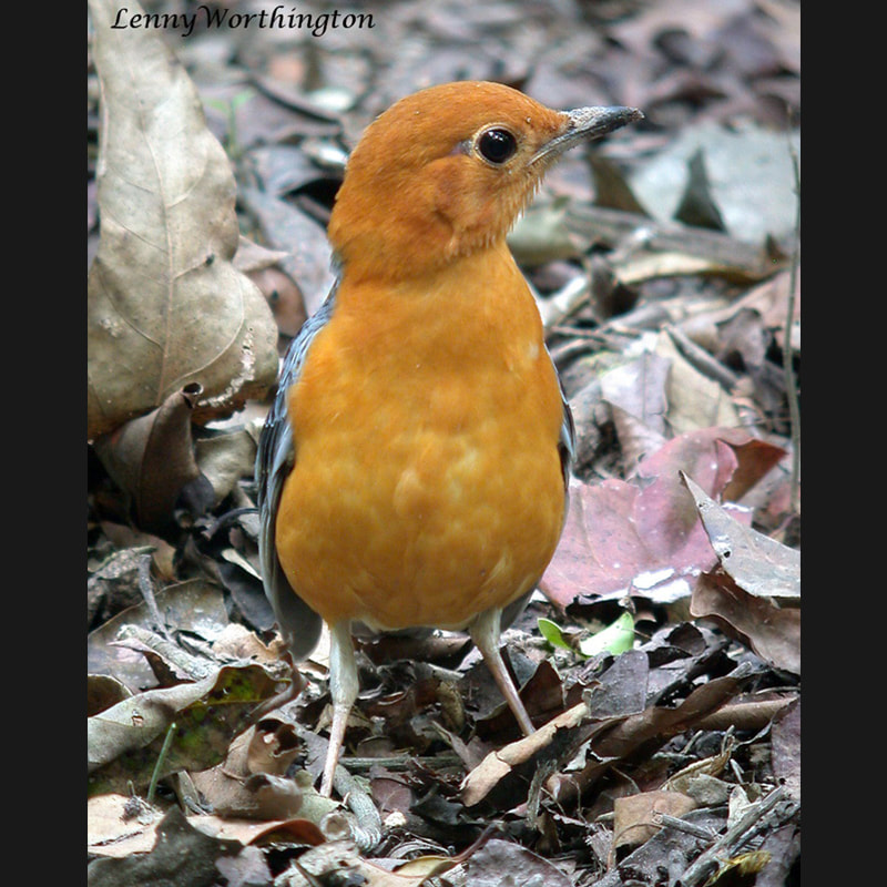 Geokichla citrina Orange-headed Thrush.jpg