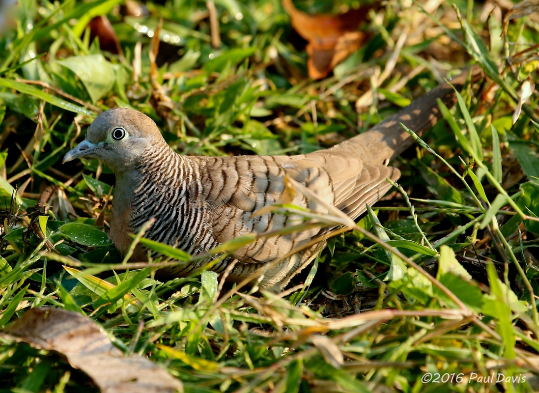 Zebra dove from Chiang Mai.jpg