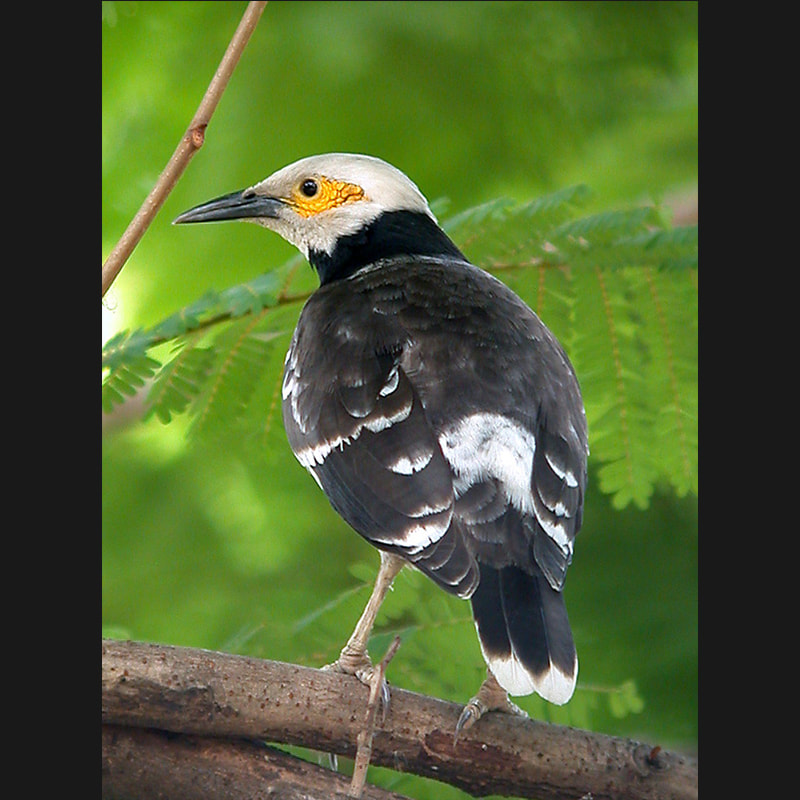 Gracupica nigricollis Black-collared Starling.jpg
