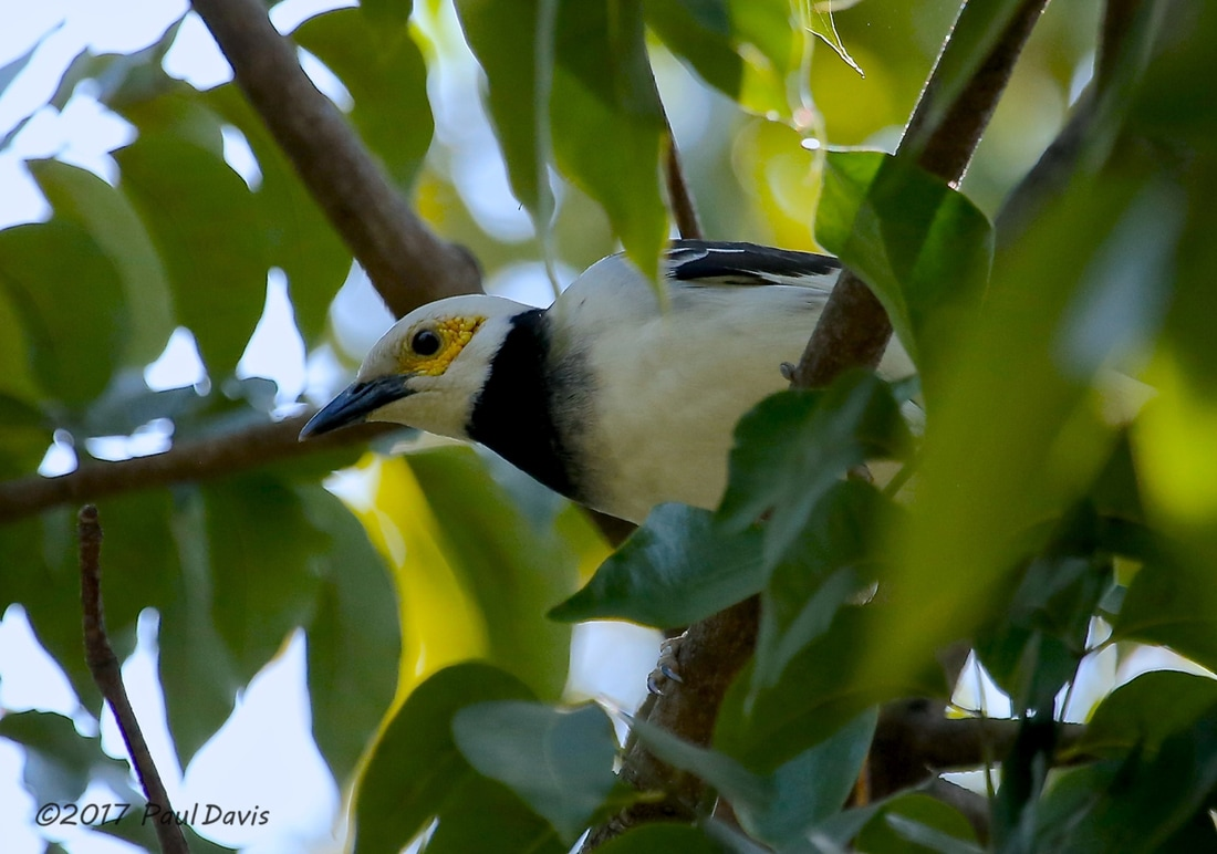 Black-collared, Starling Gracupica nigricollis.jpg