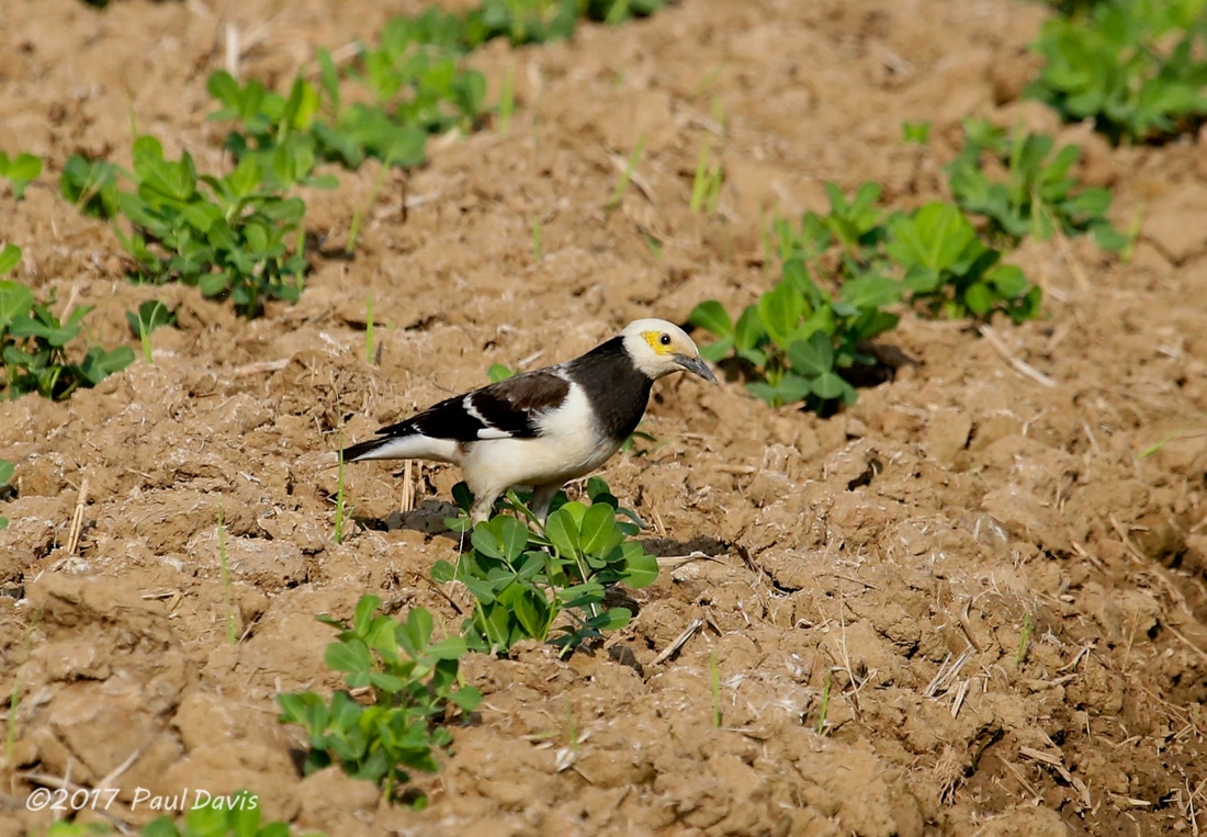 Black-collared Starling, Gracupica nigricollis.jpg