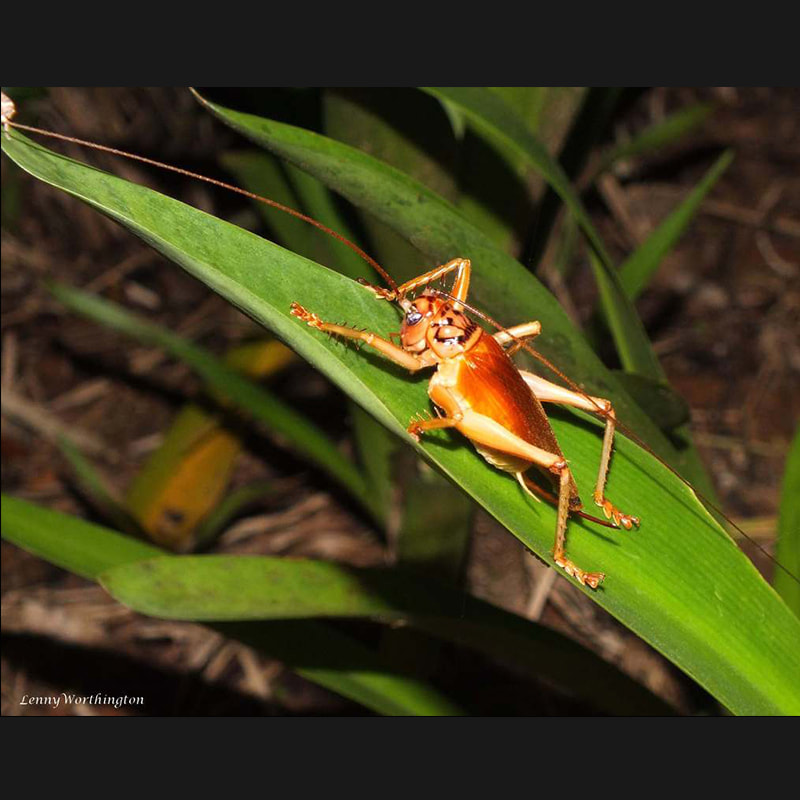Grasshoppers, Katydids And Crickets