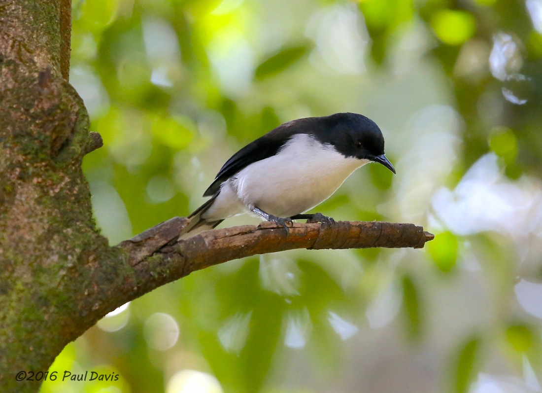 Dark-backed sibia, Heterophasia melanoleuc.jpg