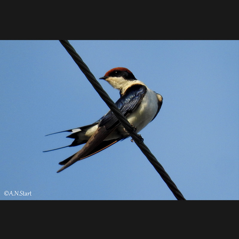 Hirundo smithii Wire-tailed Swallow.jpg
