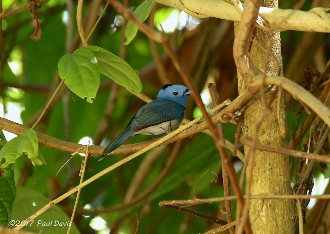 Black-naped monarch, Hypothymis azurea.jpg