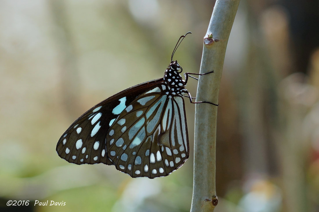 Ideopsis similis persimilis from Ob Luang National Park.jpg