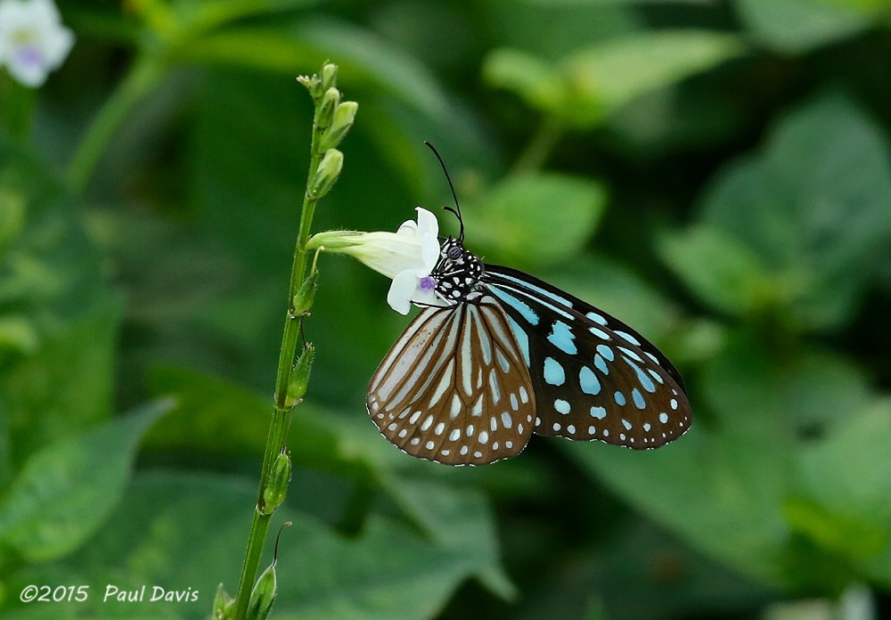 Ideopsis similis persimilis from Songkla.jpg