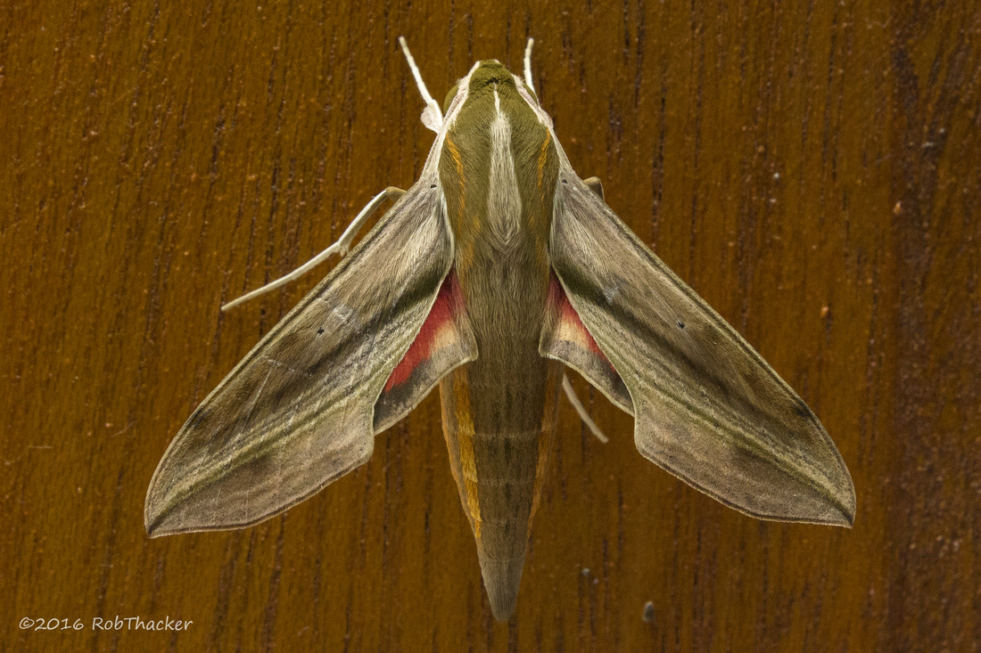 Pale Striated Hawk Moth.jpg