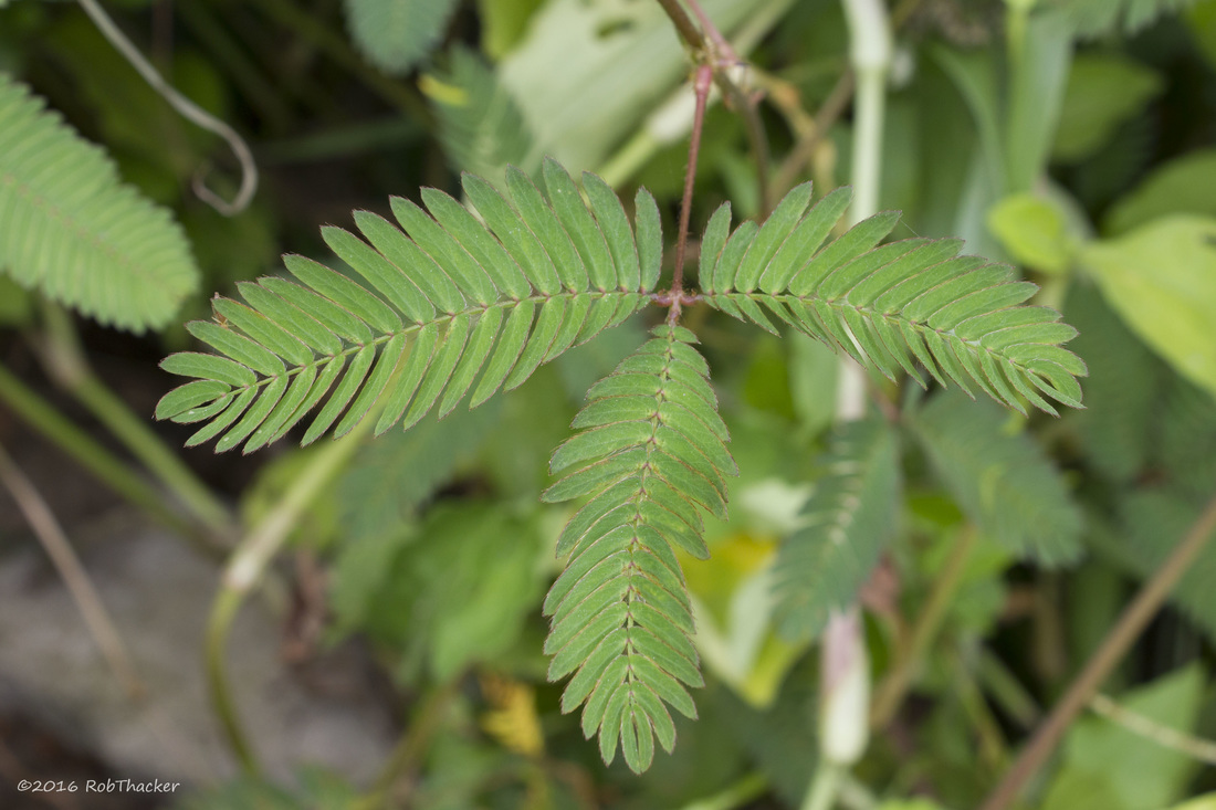 Mimosa pudica leaf close up.jpg