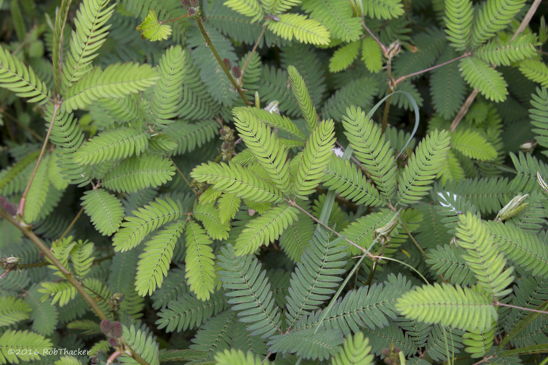 Mimosa pudica group of leaves.jpg