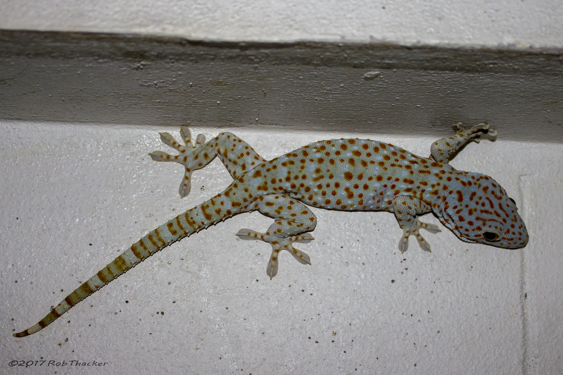 Gecko gecko from Loei.jpg
