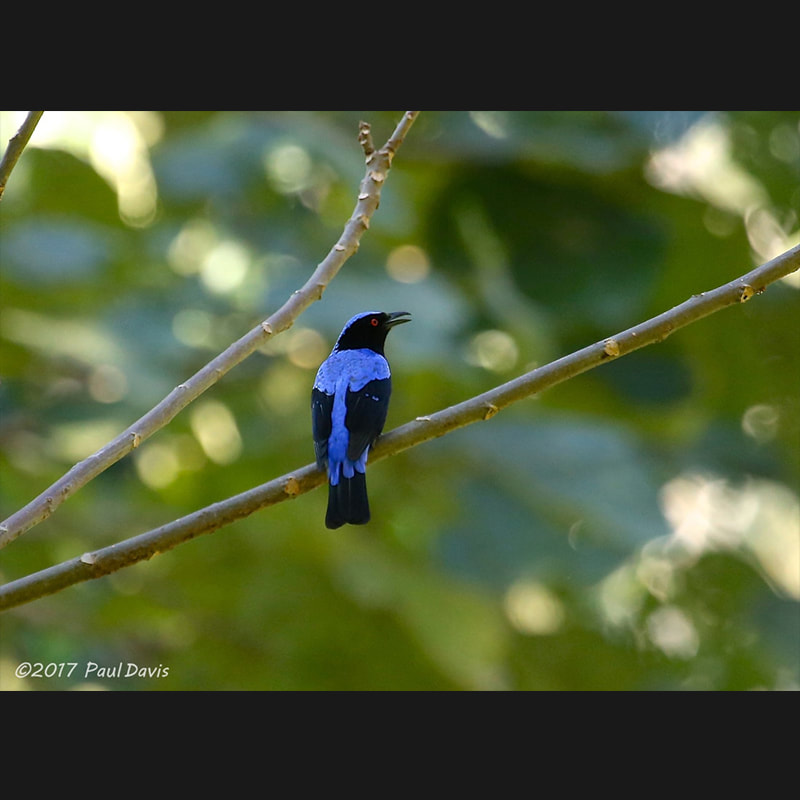 Irena puella Asian Fairy-bluebird.jpg