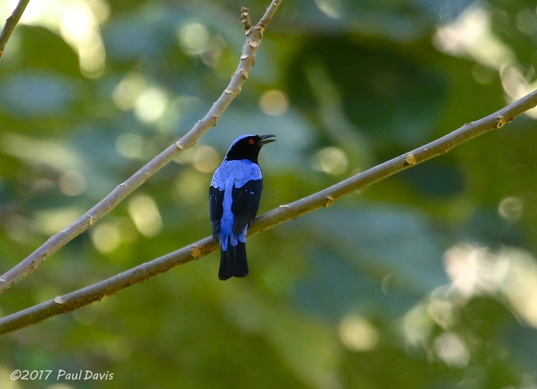 Asian fairy-bluebird, Irena puella.jpg