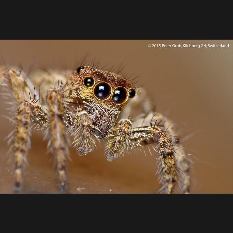 Jumping Spider Portraits.jpg